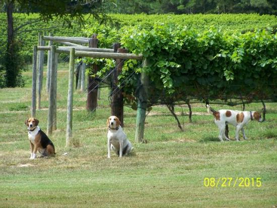 Good Luck Cellars : Dogs in the Vinyard