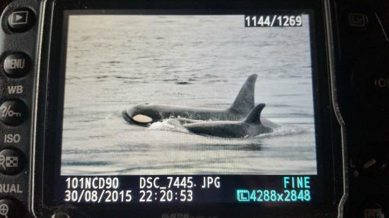 Mackay Whale Watching: orca family