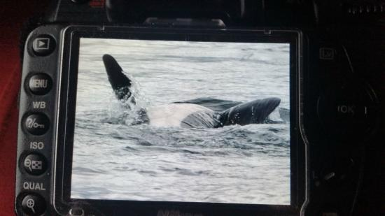 Mackay Whale Watching: swimming on back