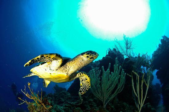 Turneffe-øyene, Belize: Hawksbill Turtle