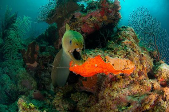 Turneffe-øyene, Belize: Moray Eel