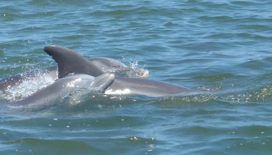 Wanchese Inn B&B : Dolphin Watch cruise on Roanoke Sound