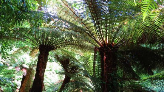 Trewidden Garden: Trewidden tree ferns