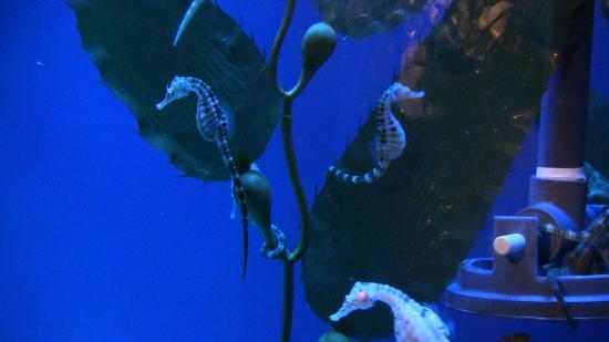 Cavallucci marini foto di acquario di genova genova for Immagini di cavalluccio marino