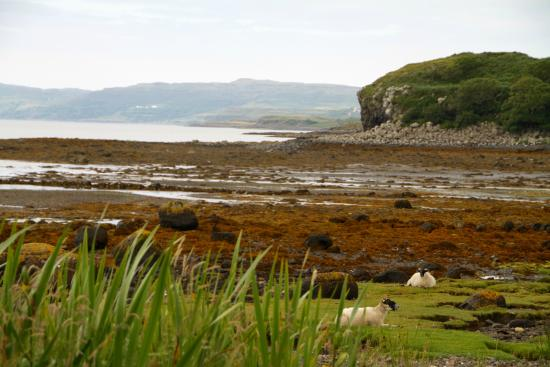 Dervaig, UK: Never seen sheep at the beach before