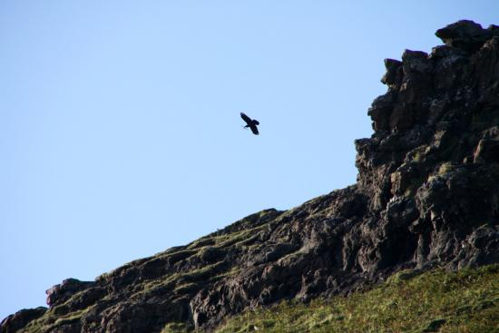 Calgary Bay: White Tailed Eagle at Calgary Bey