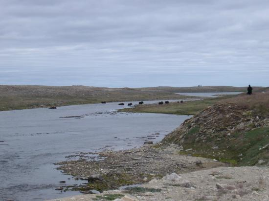 Cambridge Bay, Kanada: Muskox crossing on the way to the park