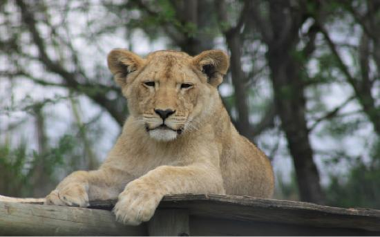 Pietermaritzburg, South Africa: Lion Park cub