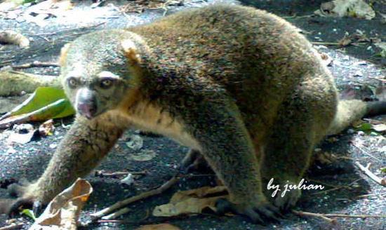 Bitung, Endonezya: bear cuscus