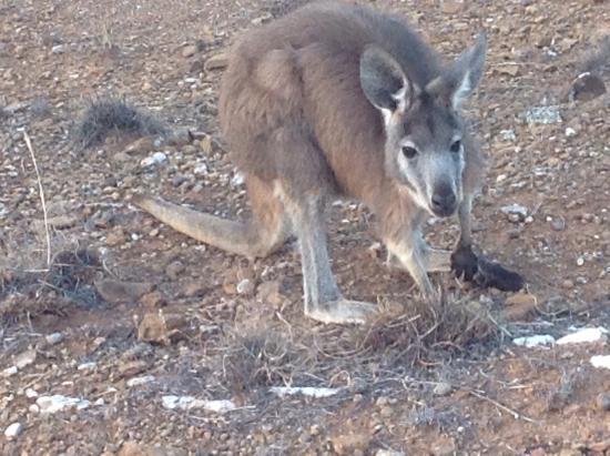 Flinders Ranges National Park: Local wildlife