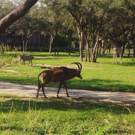 Disney's Animal Kingdom Lodge: photo2.jpg