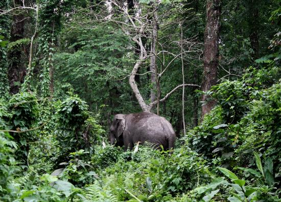 Alipurduar District, Índia: Wild Elephant