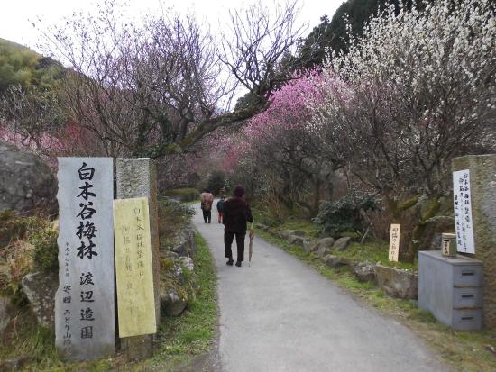 Shirakidani Plum Grove