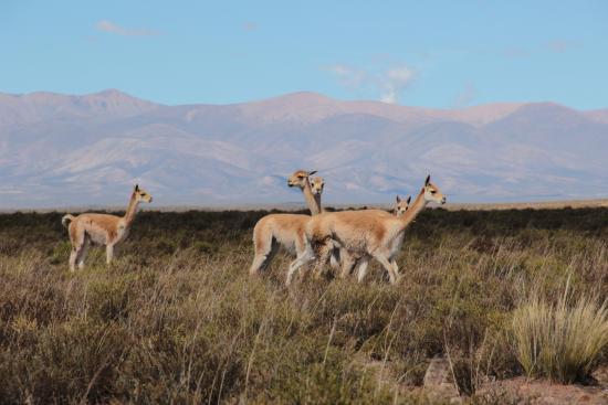 Yavi, Argentina: Vicuñas