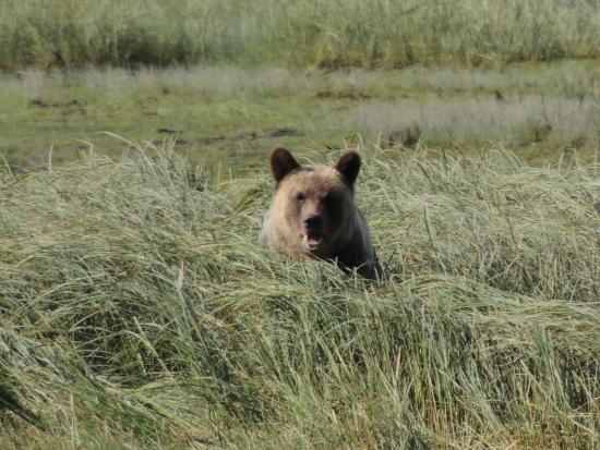 Tide Rip Grizzly Tours: Don't go into the long grass....