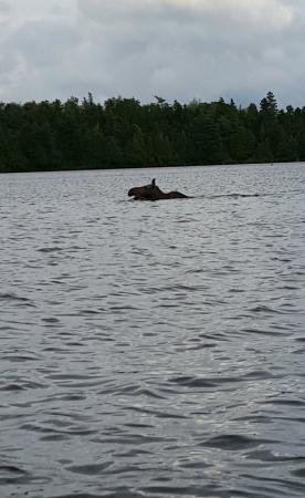 Captain Sawyer House Bed and Breakfast: Moose in the water..
