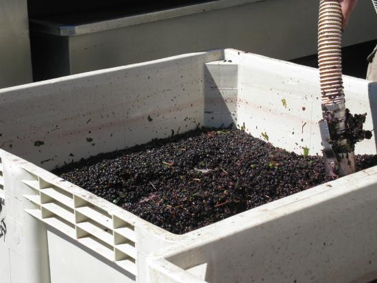 Schug Carneros Estate Winery: Pinot Noir Grapes