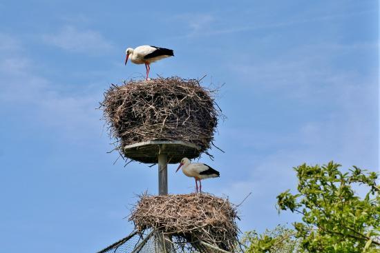 Natuurpark Lelystad: De ooievaars op hun nesten