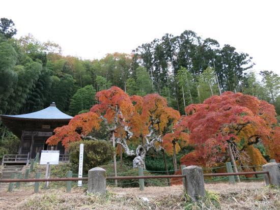 Nakagamato's Japanese Maple