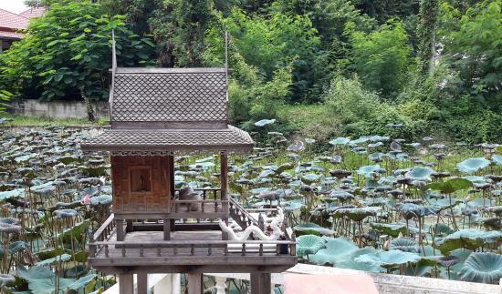 Wat Phuttha Chaiyo: Lotus pond