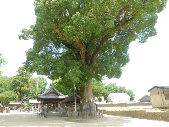 Koromo Shrine: くすのき