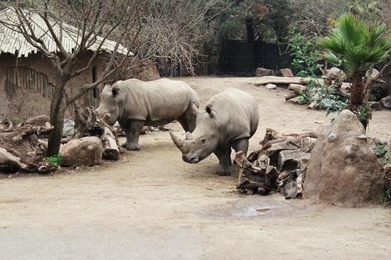 Buin Zoo: Rinocerontes brancos