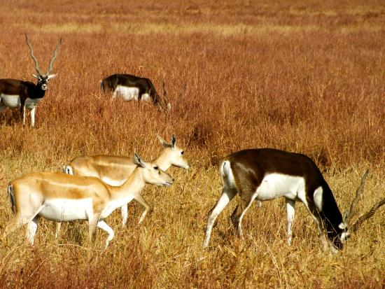 Velavadar Black Buck National Park