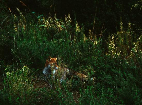Parco Naturale della Maremma: volpe
