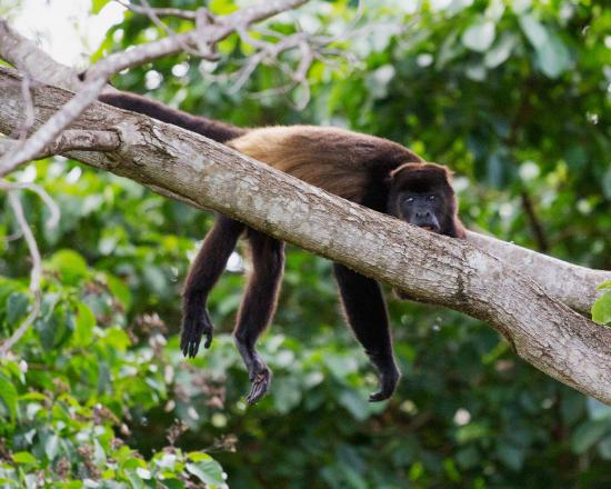 Finca Mystica: Monkeys on the property