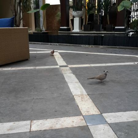 Pigeons near the lobby at Best Western Resort Kuta