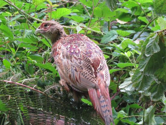 Devon, UK: Game bird