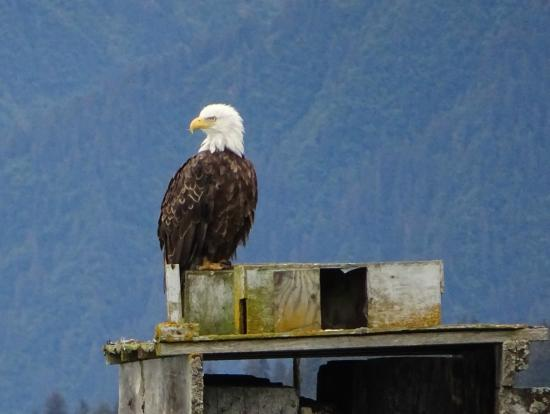 Adventure Alaska Tours: Bald eagle at Seward