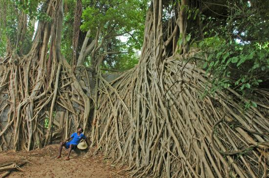 Kinasi Lodge: Kirobo rests under a strangler fig, walking excursion