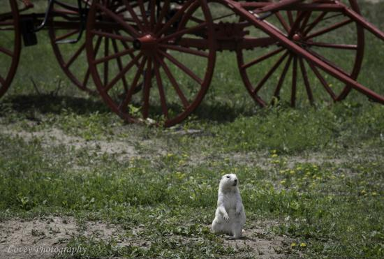 Sleepy Hollow Campground: White prarie dog at the Homestead near the Badlands