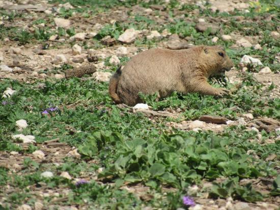 Prairie dog no Mackenzie Park