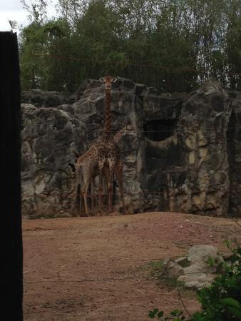 ドゥシット動物園, キリン