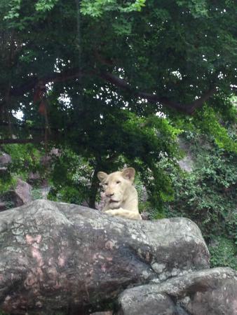 ドゥシット動物園, ホワイトライオン