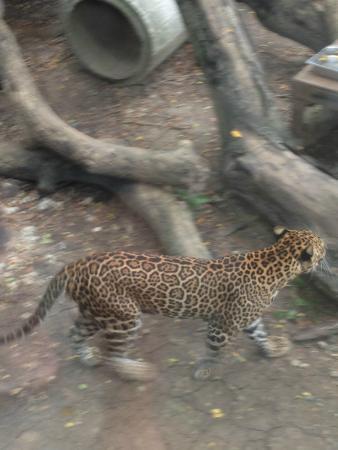 ドゥシット動物園, 豹