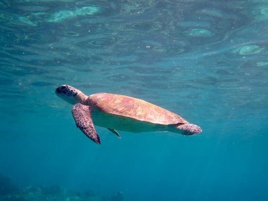 Sipadan Mabul Resort: turtle around u