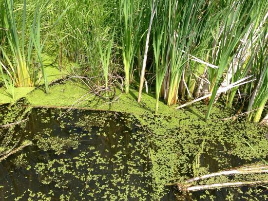 Lois Hole Centennial Provincial Park : Lots of duckweed in the lake
