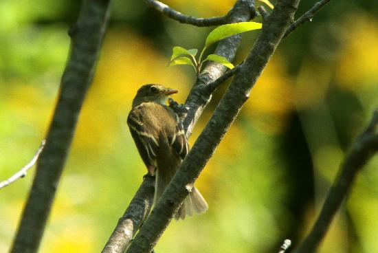 Swanton, VT: Yellowed Bellied Flycatcher-juvenile