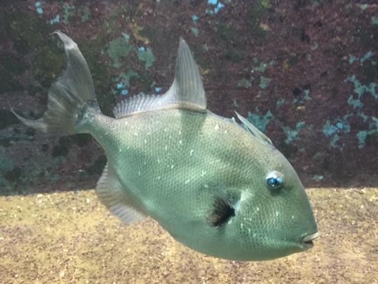 Pesce balestra picture of acquario marino trieste for Acquario marino