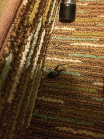 Hilton Garden Inn Abilene : Dead cricket in closet!