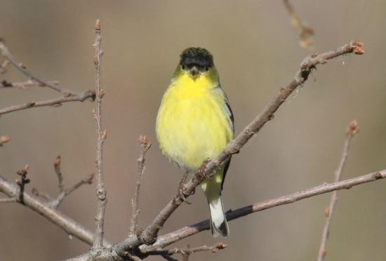 Miners Ravine Trail Loop: LESSER YELLOW FINCH