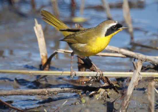 San Joaquin Wildlife Santuary: Common Yellowthroat