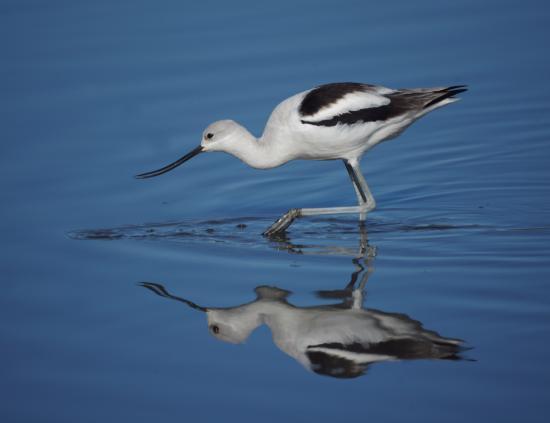 San Joaquin Wildlife Santuary: American Avocet