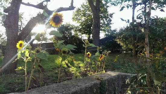 Il Giardino di Gust'e: girasoli in giardino