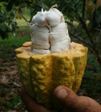 Cotococha Amazon Lodge: Fruta del Cacao