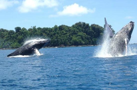 Drake Bay, Kostaryka: Double Double Breach! These Humpbacks breached together two times!