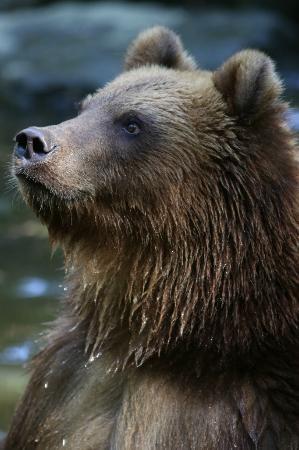 grizzly attendant son go ter photo de zoo de la. Black Bedroom Furniture Sets. Home Design Ideas
